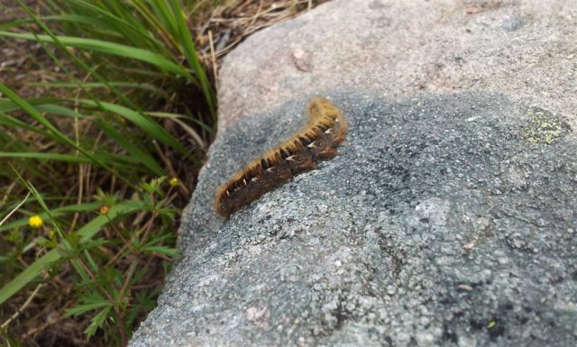 Big hairy Fox Moth caterpillar?