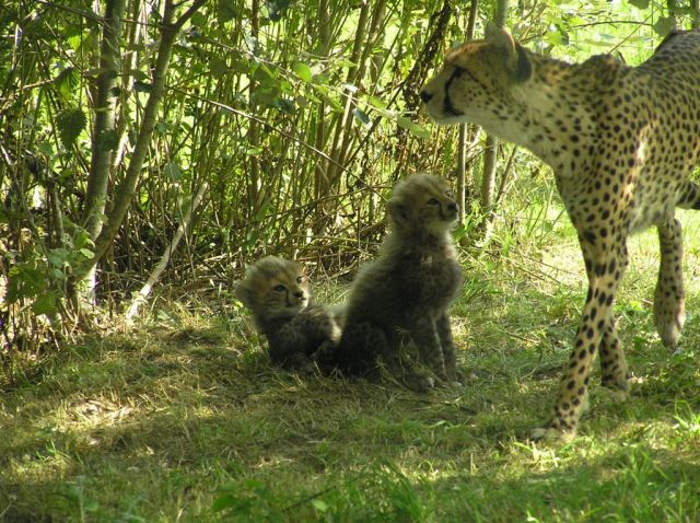 Cheetah & Babies Aug 2013
