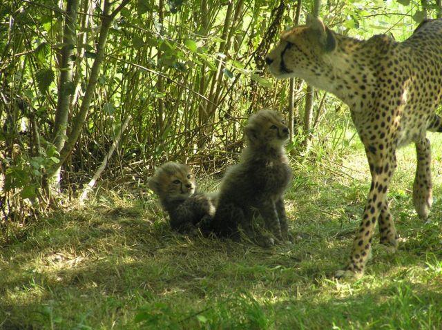 Cheetah & Babies Aug 2013
