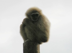 Lar Gibbon in the Outdoors Orang Enclosure