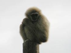 Lar Gibbon in the Outdoors Orang Enclosure