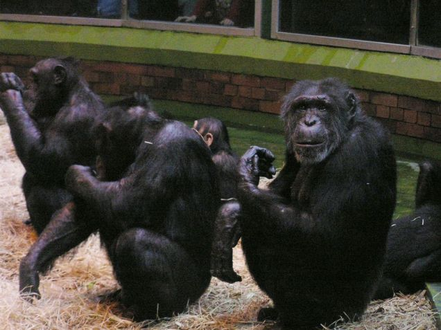 Senior Chimp Keeping Order