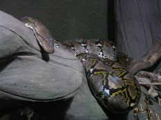 Massive Reticulated Python