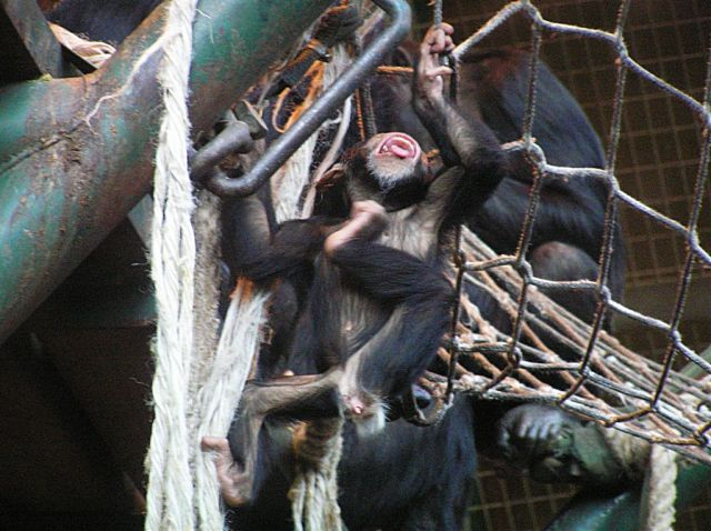 Baby Chimps Playing