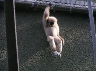 Lar Gibbon in the Orang House Hanging Around