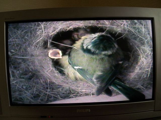Blue Tit Nestbox Cam