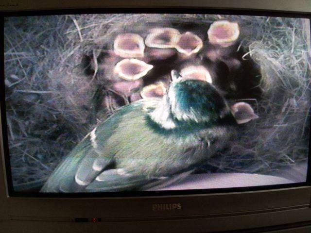 Blue Tit Nestcam Featured