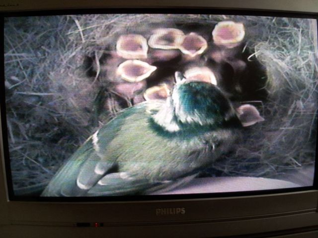 Blue Tit Nestcam Featured