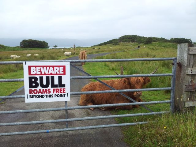Ok it's a Highland Coo. Duirinish Station crossing